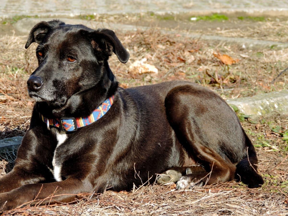 κυνηγετικό σκυλί, κυνικός, σκύλος, ζώο, κατοικίδιο ζώο, Χαριτωμένο, πορτρέτο, το κουτάβι