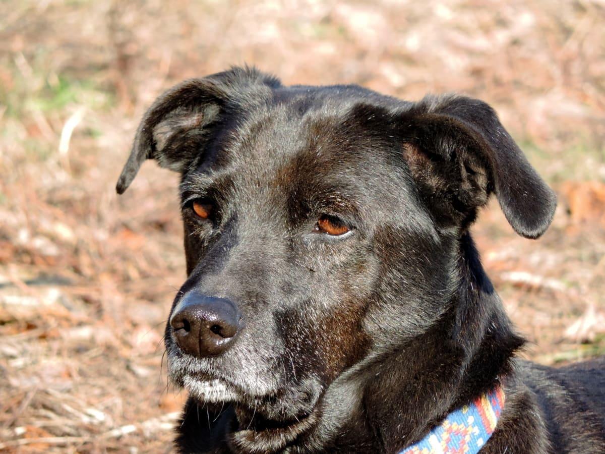 lovački pas, pastirski pas, retriver, pas, slatka, štene, životinja, pas