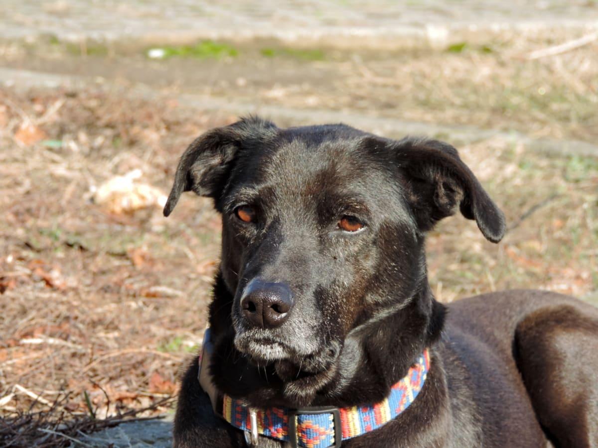 pastirski pas, štene, ljubimac, lovački pas, životinja, retriver, pas, pas