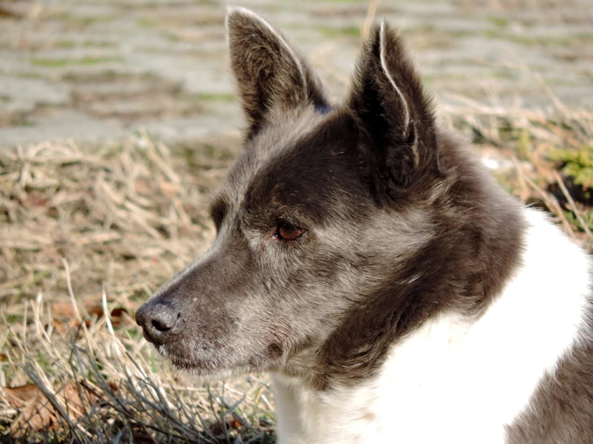 pas, kardigan, pastirski pas, pas, ljubimac, slatka, životinja, portret