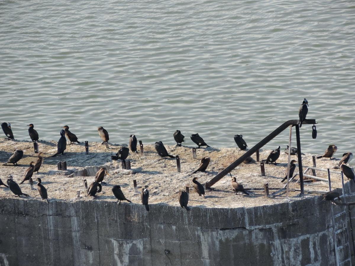 νερό, πουλί, σε εξωτερικούς χώρους, φύση, Λίμνη, αιγιαλού, Ποταμός, κατηγοριοποίηση