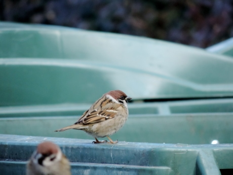 sparrow, beak, animal, wildlife, bird, feather, vertebrate, outdoors