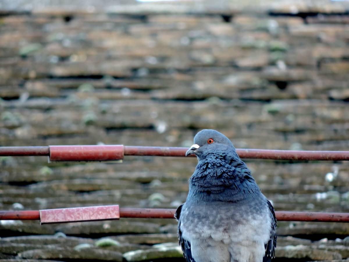 due, Tag, tagterrasse, dyreliv, fugl, natur, udendørs, dyr