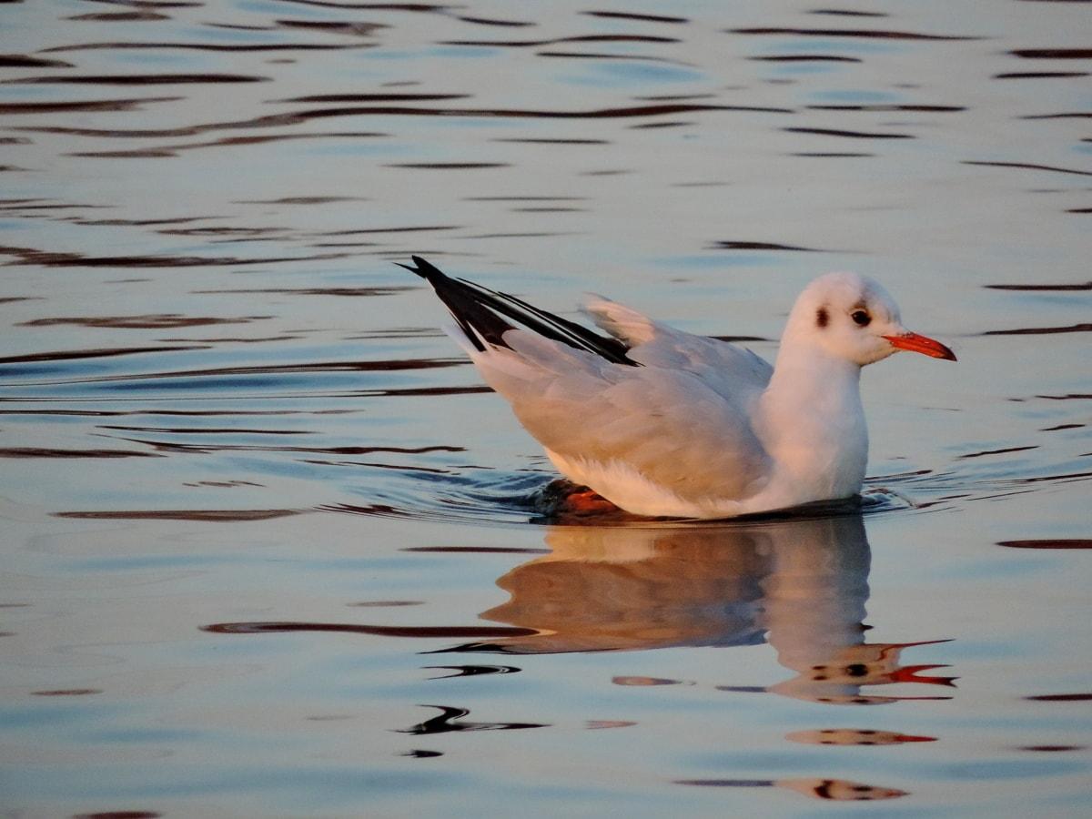 перо, Seabird, дива природа, птица, водните птици, чайки, животните, водолюбивите птици
