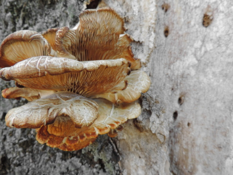fungus, food, wood, mushroom, nature, upclose, bark, tree