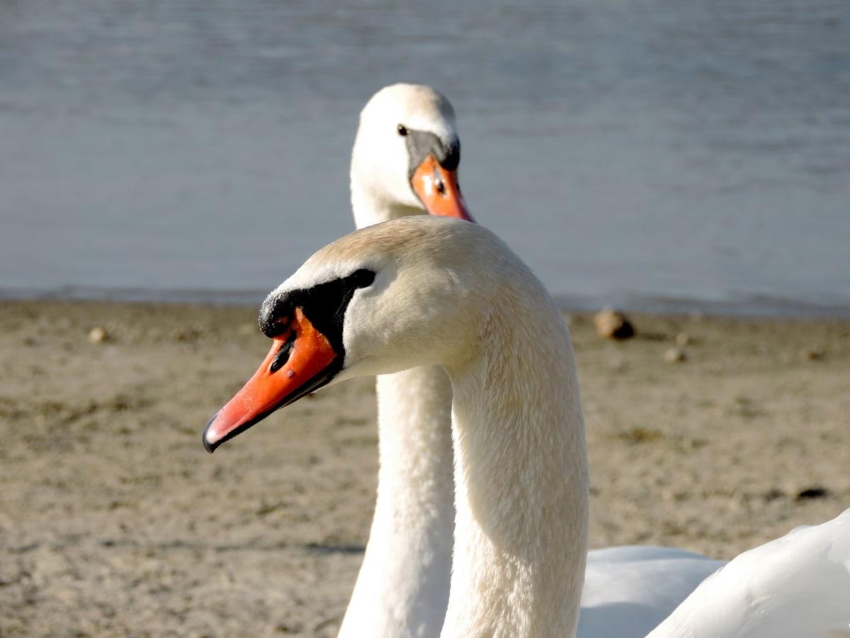 pássaro, vida selvagem, bico, pena, aves aquáticas, ave aquática, Cisne, água