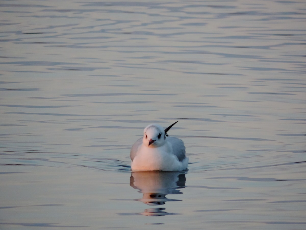 måge, vandfugle, fugl, vand, akvatisk fugl, søen, dyreliv, pool