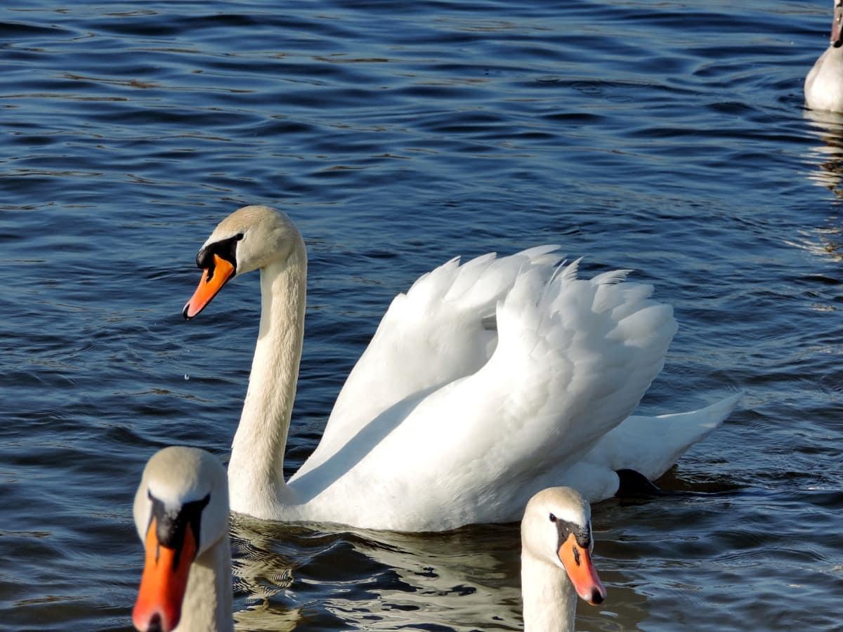 voda, labud, ptice vodarice, ptica, pero, kljun, vodena ptica, biljni i životinjski svijet