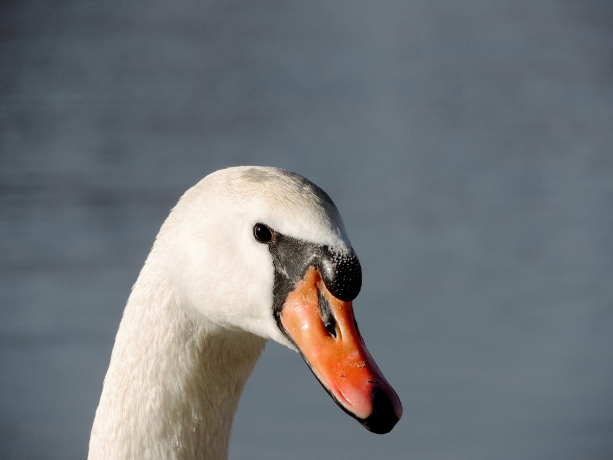 halsen, hodet, nebb, svane, dyreliv, vannfugler, fuglen, akvatiske fugl