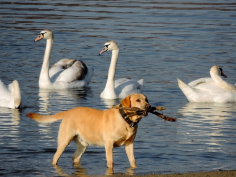 hunting dog, wildlife, bird, water, lake, swan, beak, waterfowl