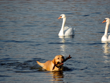 dog, water, bird, swan, lake, waterfowl, animal, swimming