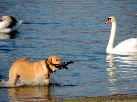 hunting dog, bird, waterfowl, wildlife, aquatic bird, water, lake, pond