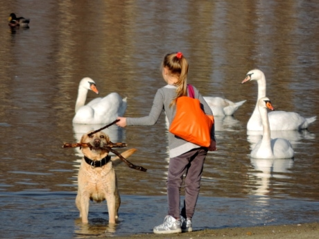 child, girl, hunting dog, swan, lake, water, bird, waterfowl
