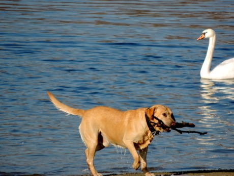 hunting dog, swan, animal, pet, retriever, canine, bird, water