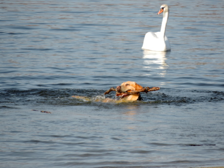 dog, hunting dog, swan, water, goose, bird, lake, swimming