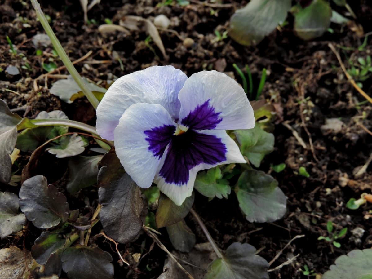 lila, Anlage, Blume, Blumen, Natur, Viola, Flora, Kraut