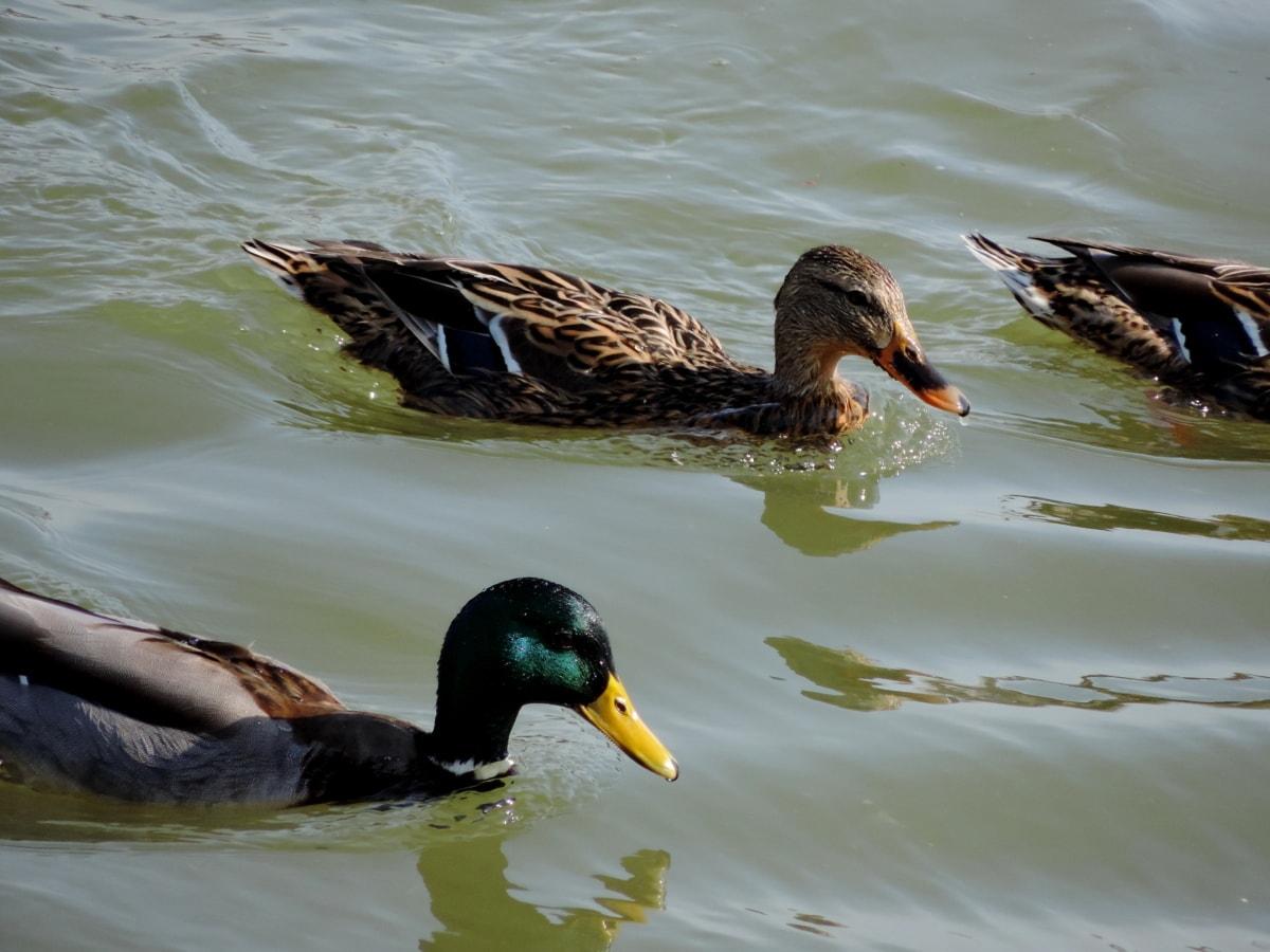 дива природа, езеро, птица, водолюбивите птици, перо, патица птица, зеленоглава патица, патица
