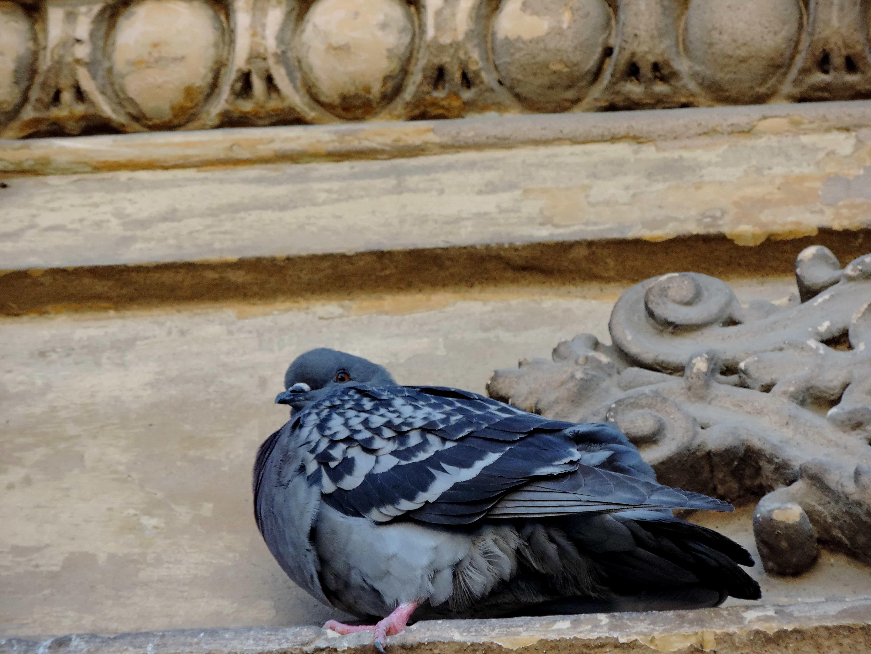 facciata, piccione, fauna selvatica, becco, animale, uccello, natura, tempo libero