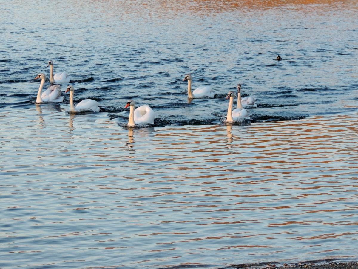 Κύκνος, υδρόβιων πουλιών, θαλασσοπούλια, Λίμνη, πουλί, νερό, φύση, κύμα