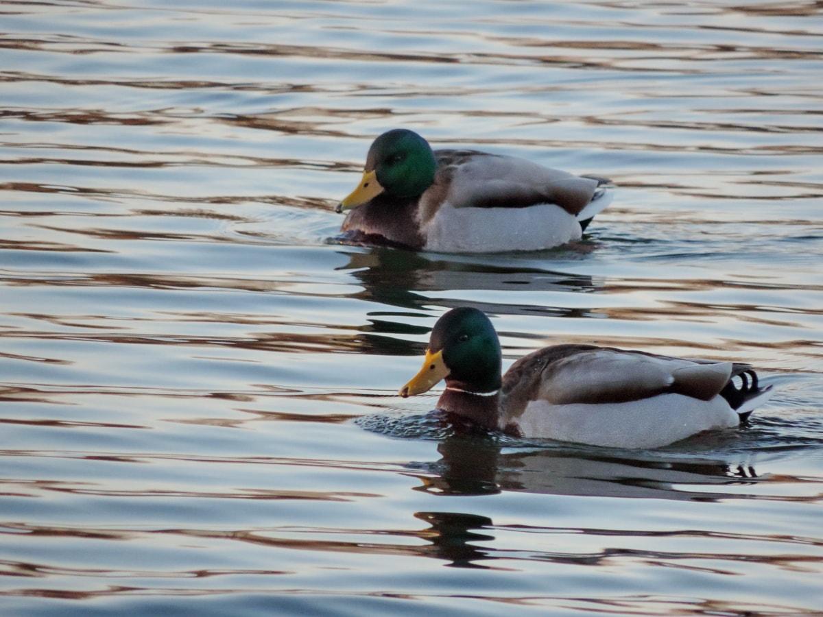 πουλί, υδρόβια πτηνά, νερό, Λίμνη, πάπια, πάπια πουλί, πουλερικά, αγριόπαπια