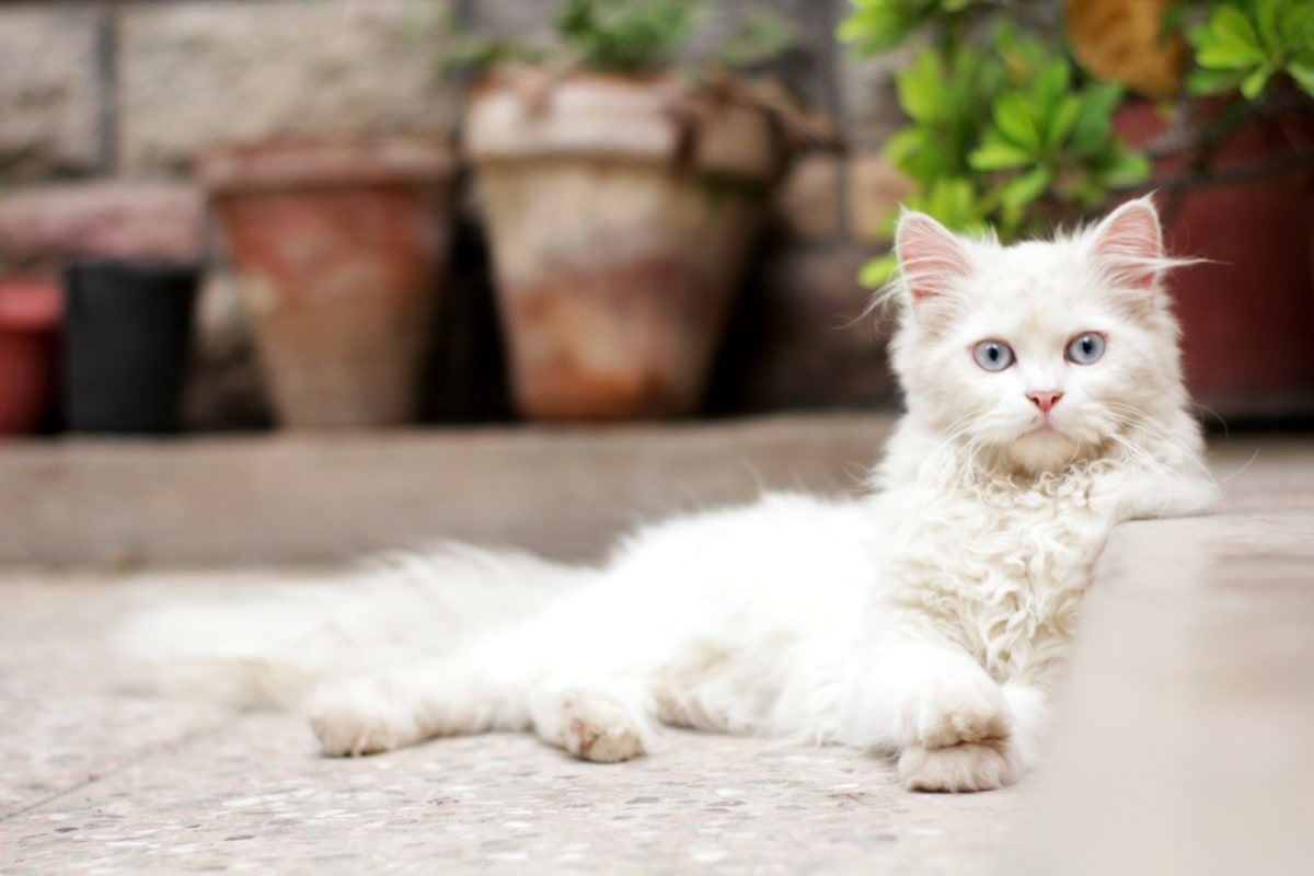 domestic cat, eyes, purebred, white, kitty, domestic, pet, animal
