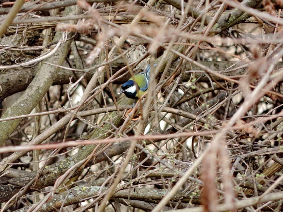 fargerike, busk, dyreliv, natur, fuglen, utendørs, liten, vill