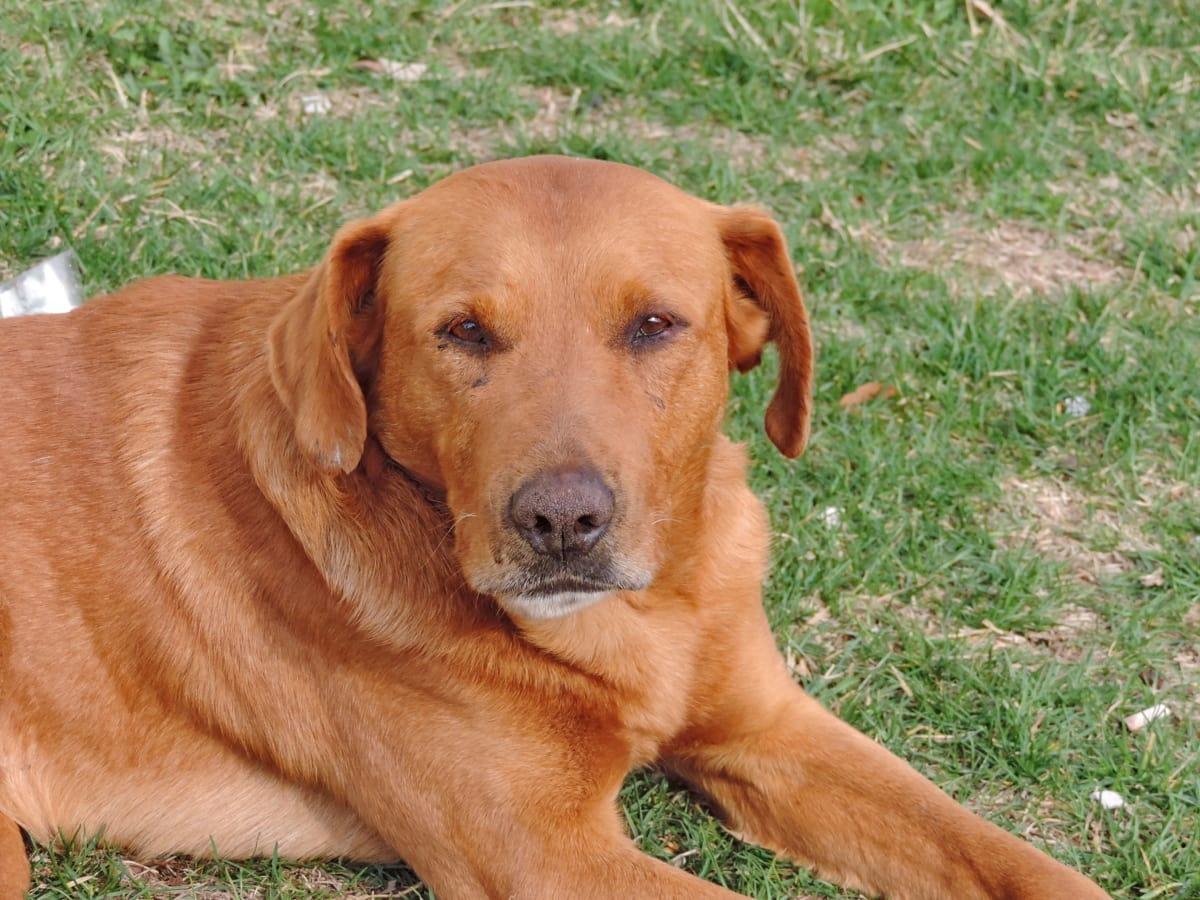 κυνικός, σκύλος, το κουτάβι, Ριτρίβερ, κυνηγόσκυλο, κατοικίδιο ζώο, κυνηγετικό σκυλί, ζώο