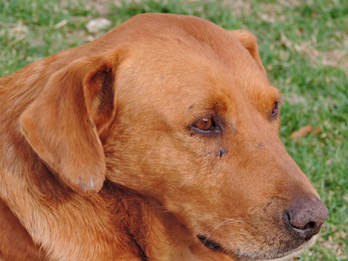 ruskea, koira, silmät, muotokuva, Söpö, lemmikki, eläinten, pentu
