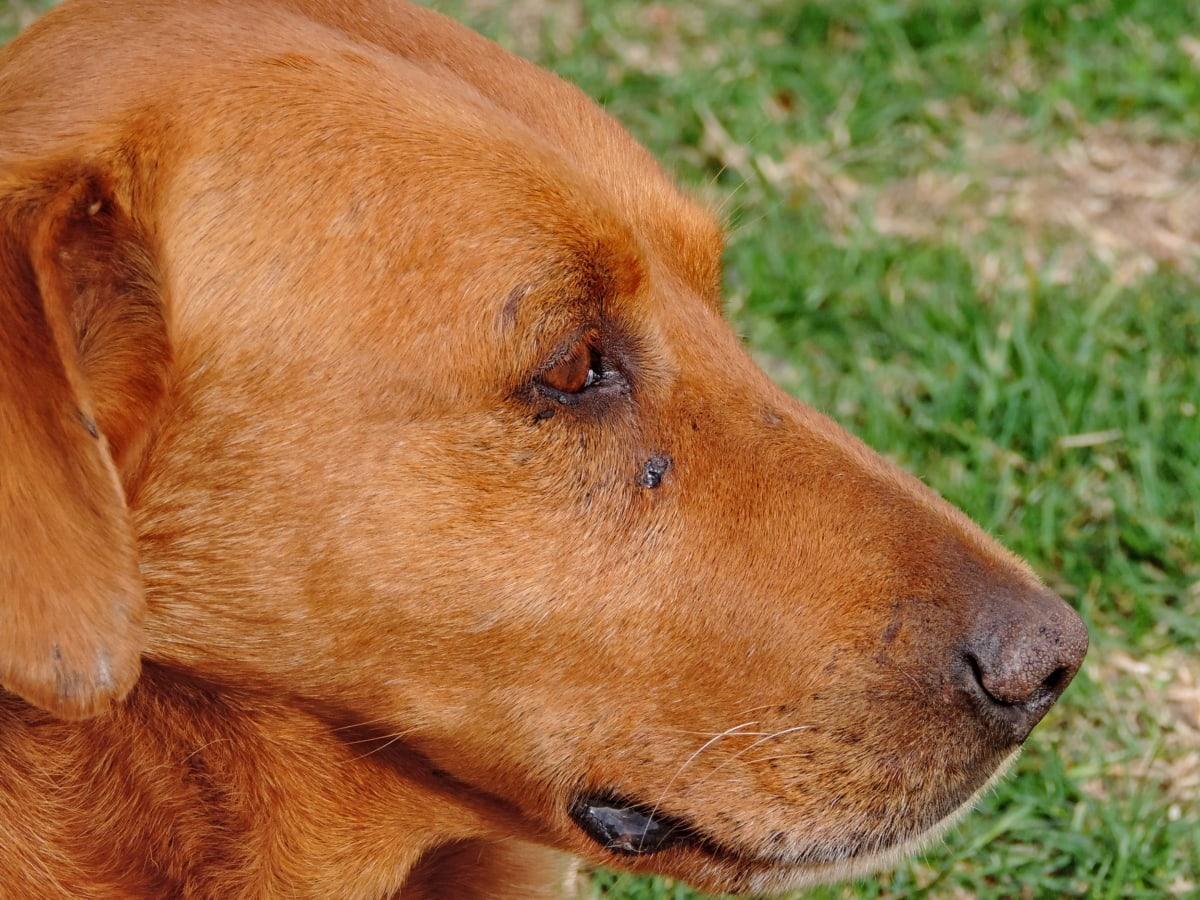 καφέ, μάτι, κεφάλι, ζώο, σκύλος, κυνηγετικό σκυλί, κατοικίδιο ζώο, κυνηγόσκυλο