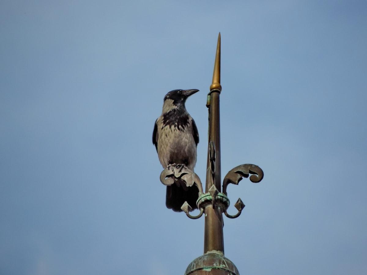 ciel bleu, Corbeau, tour, bec, oiseau, faune, aile, panache