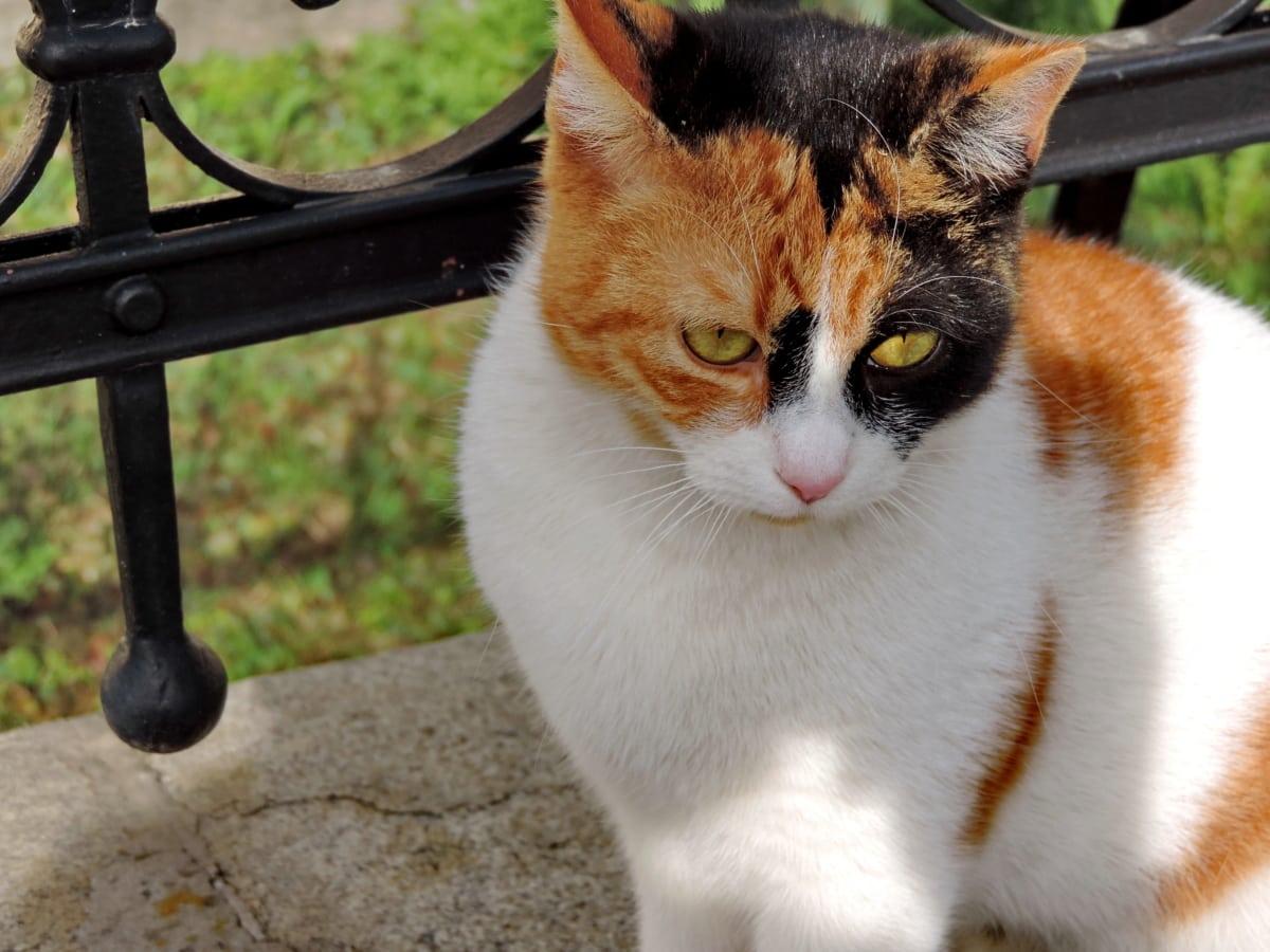 fargerike, innenlands cat, sitter, værhår, kjæledyr, katten, dyr, feline