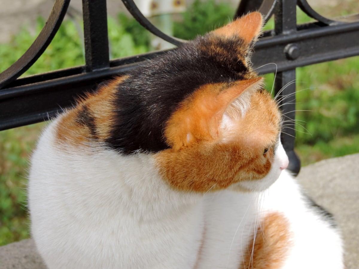 ljubimac, mačka, životinja, slatka, krzno, portret, domaće, Mladi