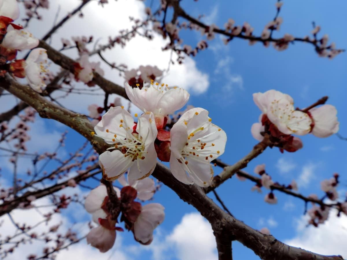 синьо небе, клонове, цветна градина, цъфтежа череша, плодник, цвете, цвят, Пролет