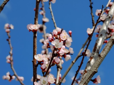 blossom, cherry, spring, almond, flower, season, tree, branch