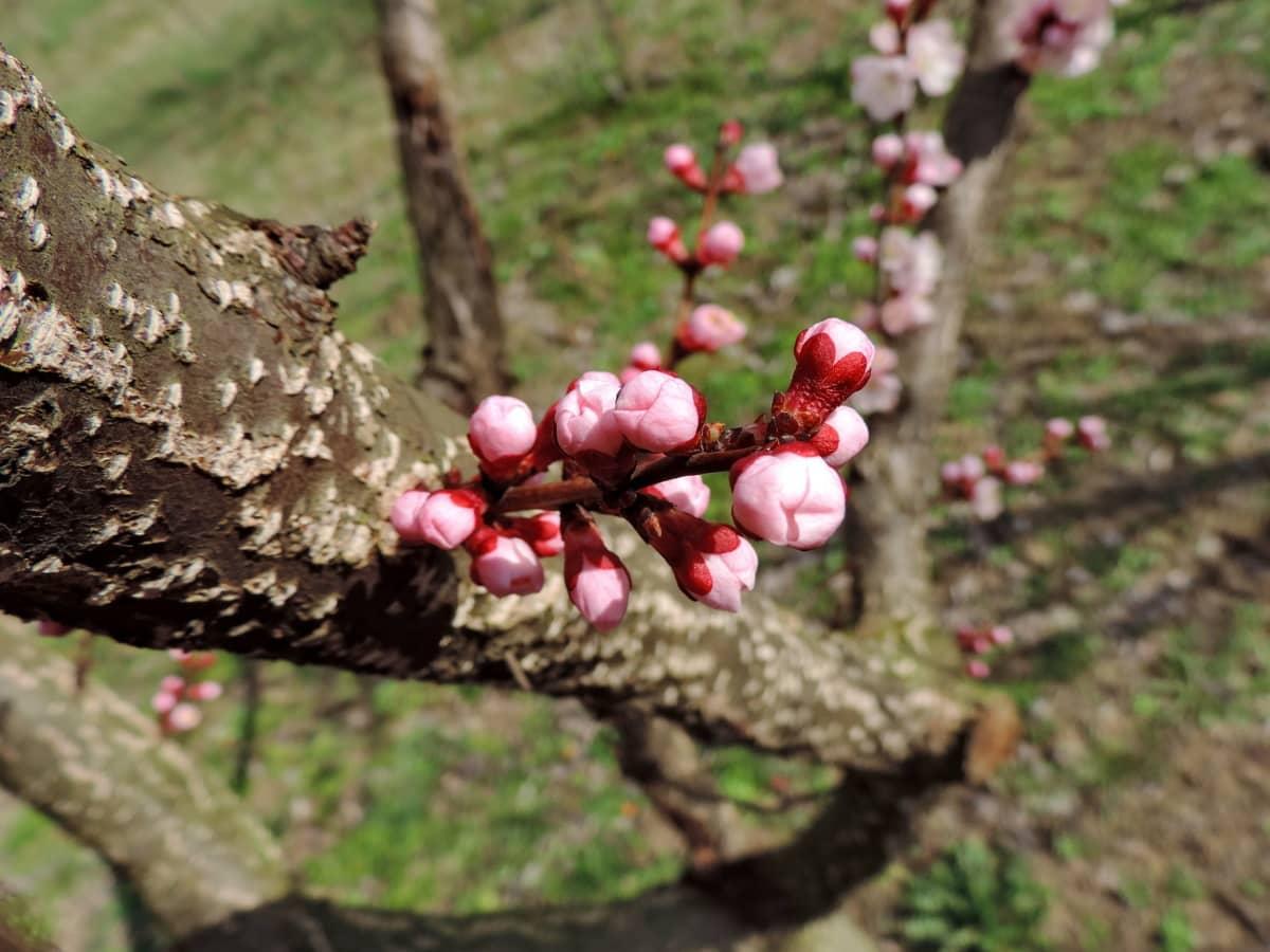 μπουμπούκι, άνοιξη, φυτό, δέντρο, φύση, ξύλο, σε εξωτερικούς χώρους, φύλλο