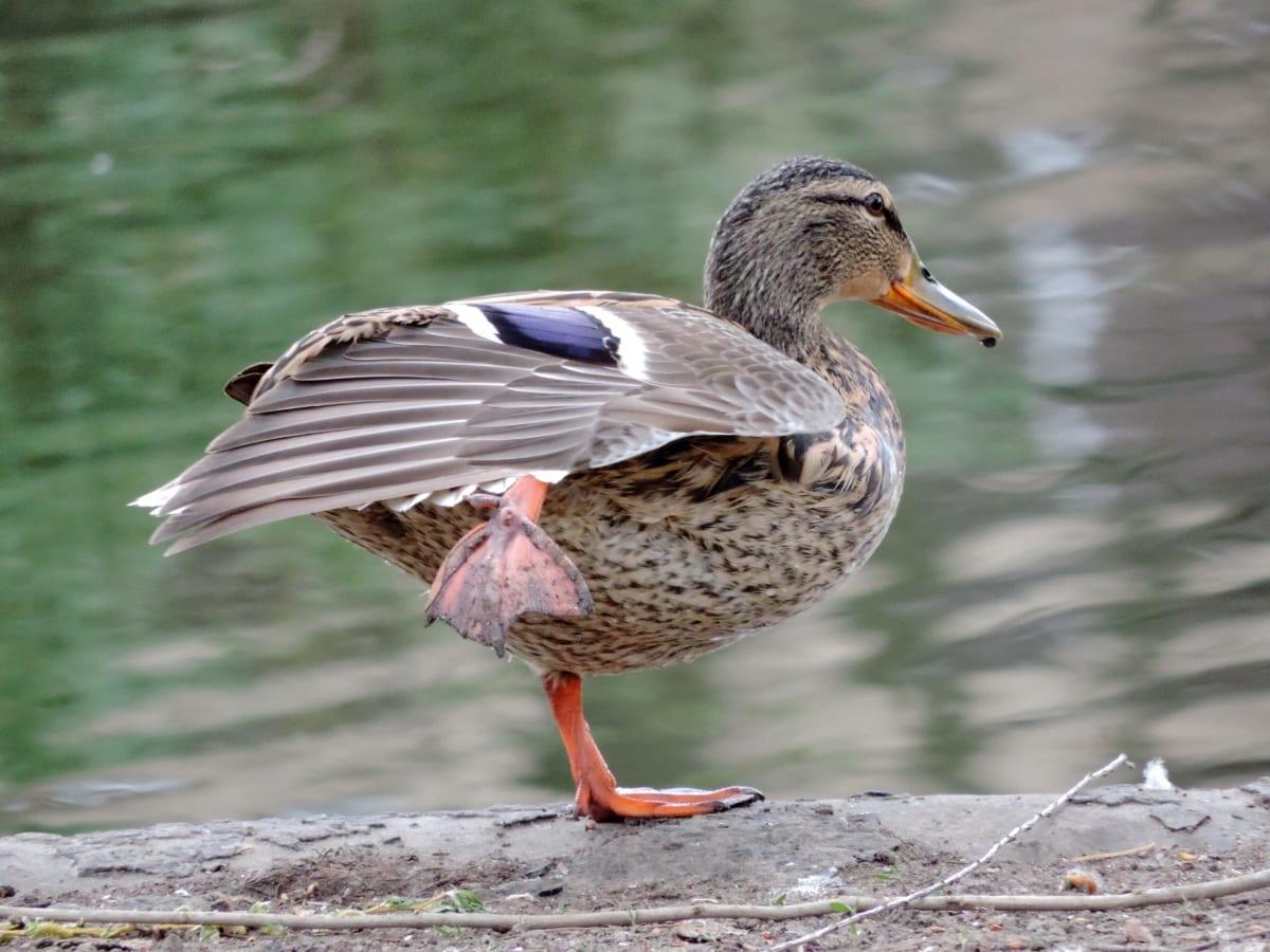 перо, зеленоглава патица, дива природа, крило, клюн, птица, животните, патица птица