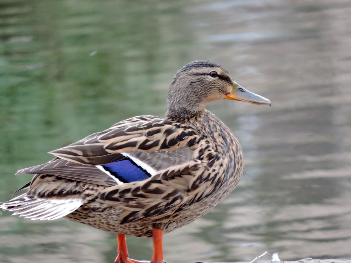 на открито, птици, дива природа, диви, водолюбивите птици, патица, патица птица, клюн