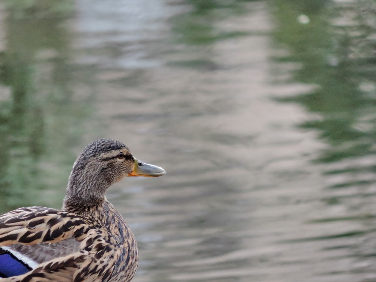 πάπια, Οικολογία, κεφάλι, Ζωολογία, πάπια πουλί, υδρόβια πτηνά, πουλί, άγρια φύση