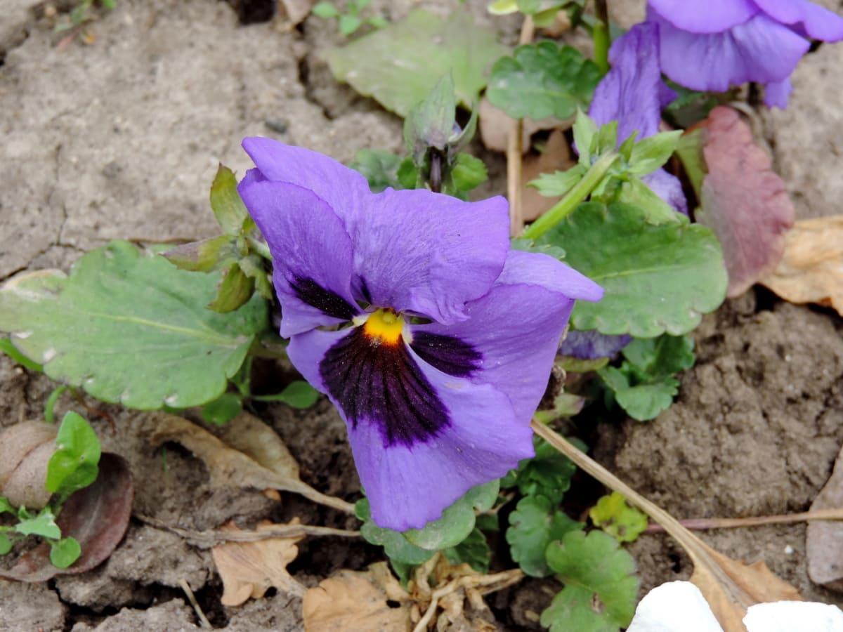 βότανο, λουλούδια, λουλούδι, φυτό, χλωρίδα, φύση, φύλλο, Κήπος