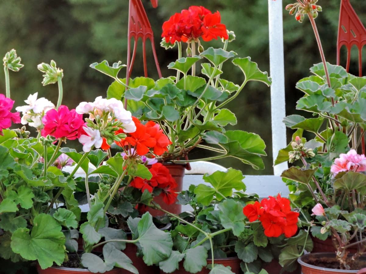 γλάστρα, λουλούδια, Κήπος, χλωρίδα, βότανο, φυτό, άνοιξη, λουλούδι