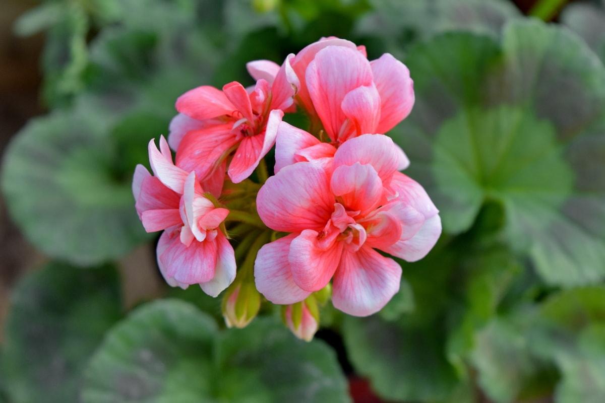 gerânio, horticultura, pétala, rosa, jardim, folha, flora, flor