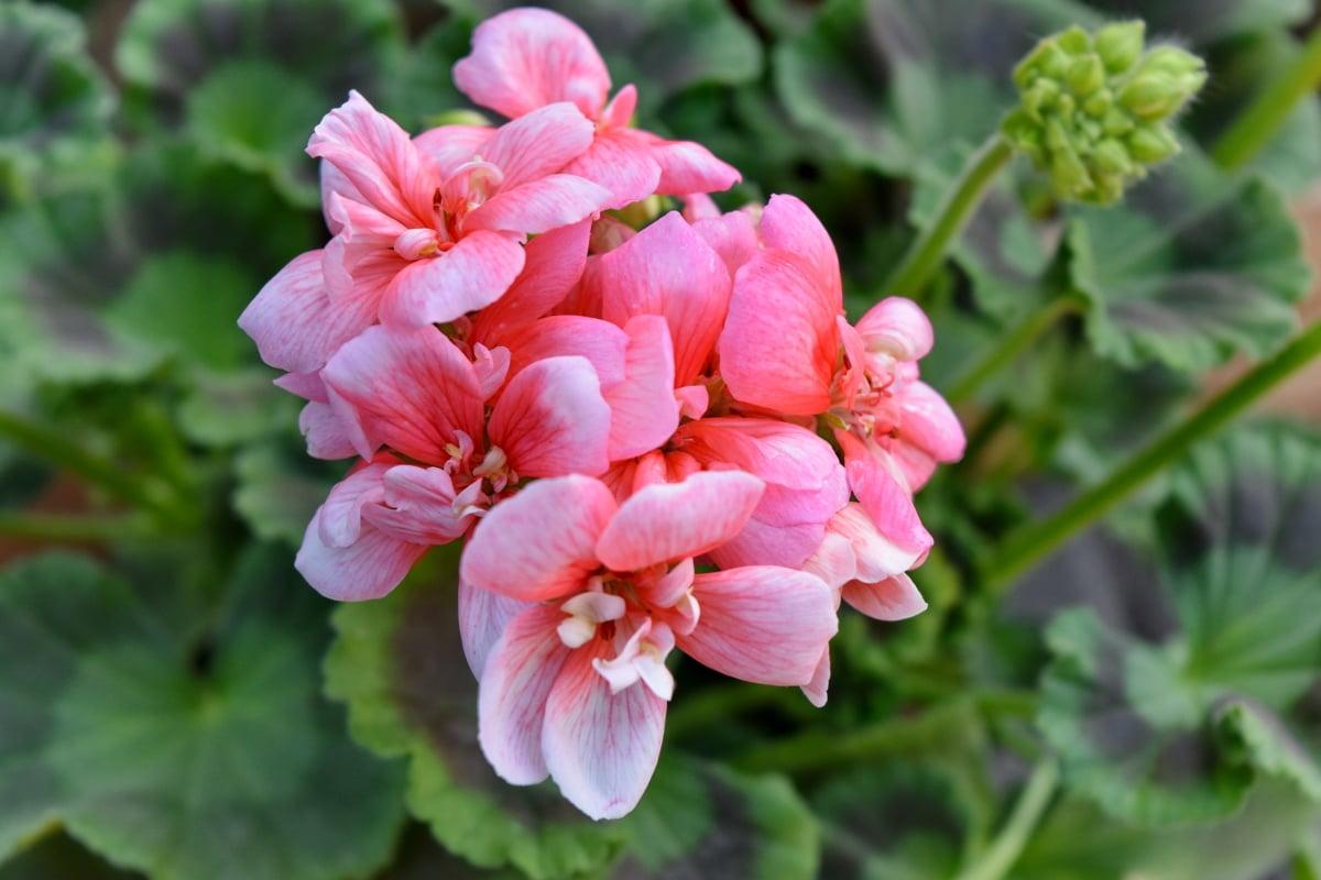 Detaljer, blomknopp, pistill, blomma, Geranium, flora, ört, rosa