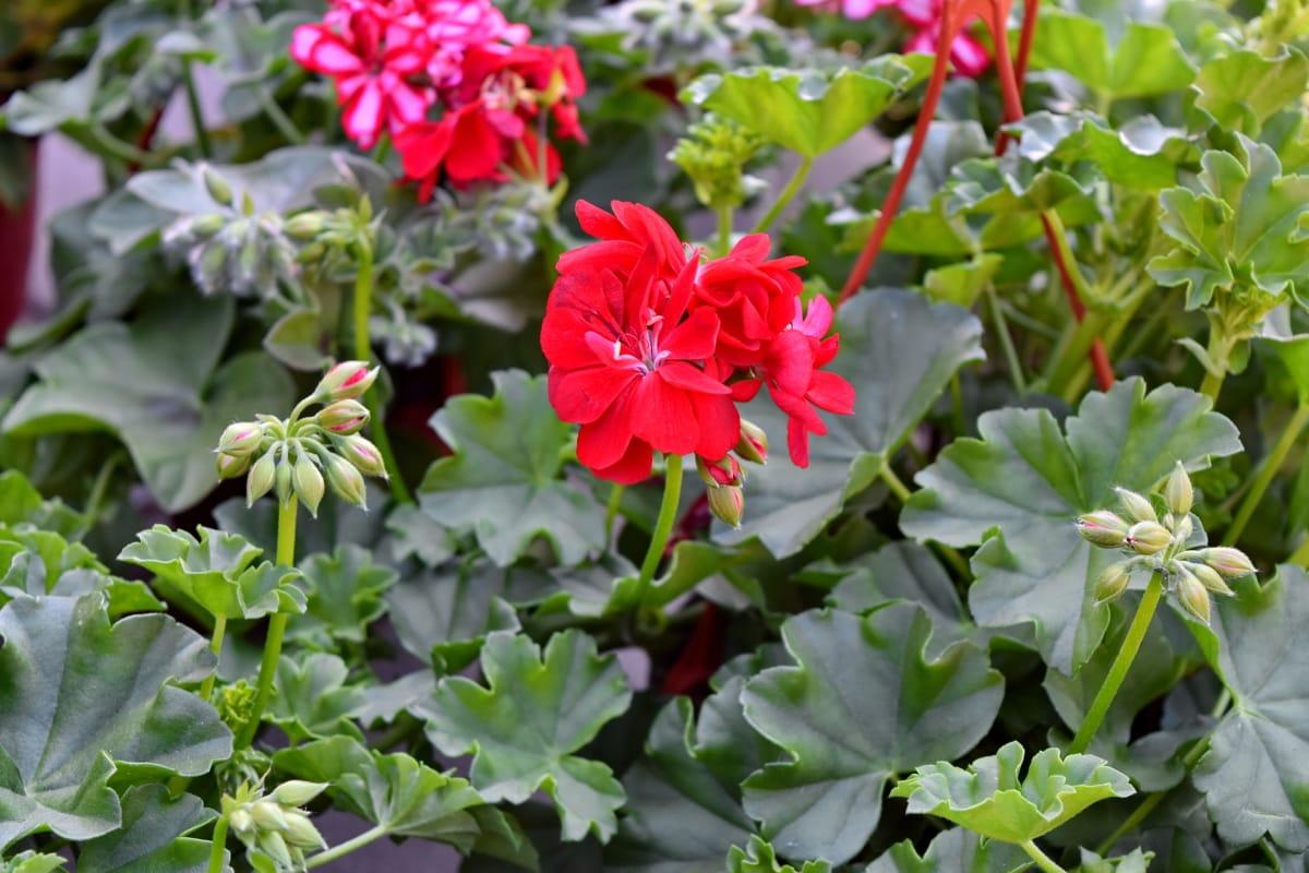 Подреждане, цветна пъпка, цветна градина, Здравец, цвете, природата, билка, градина