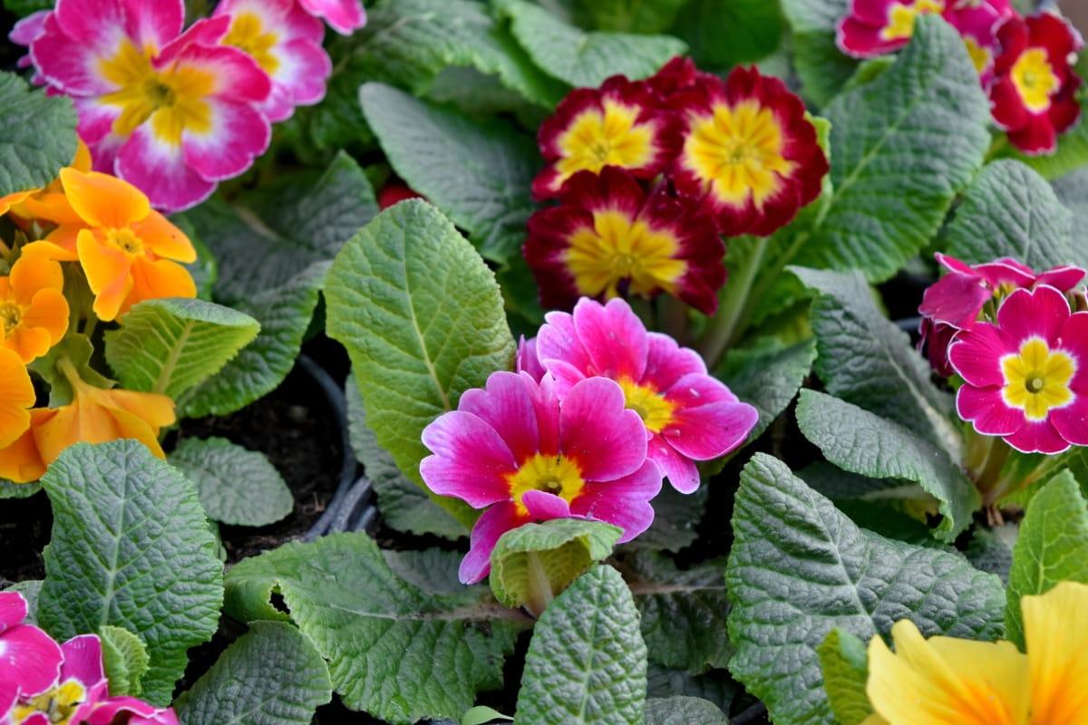 závod, květ, Petrklíč, květiny, bylina, list, zahrada, Příroda