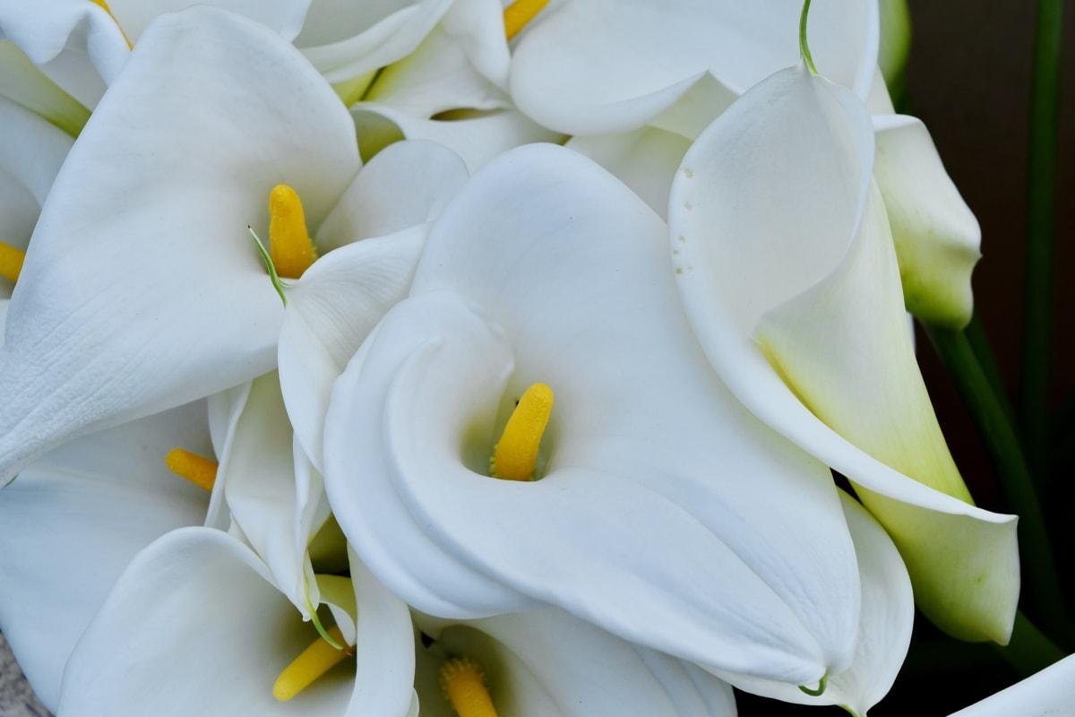 รายละเอียด, ลิลลี่, เขตร้อน, สีขาว, ดอกไม้, กลีบ, ธรรมชาติ, ดอกไม้