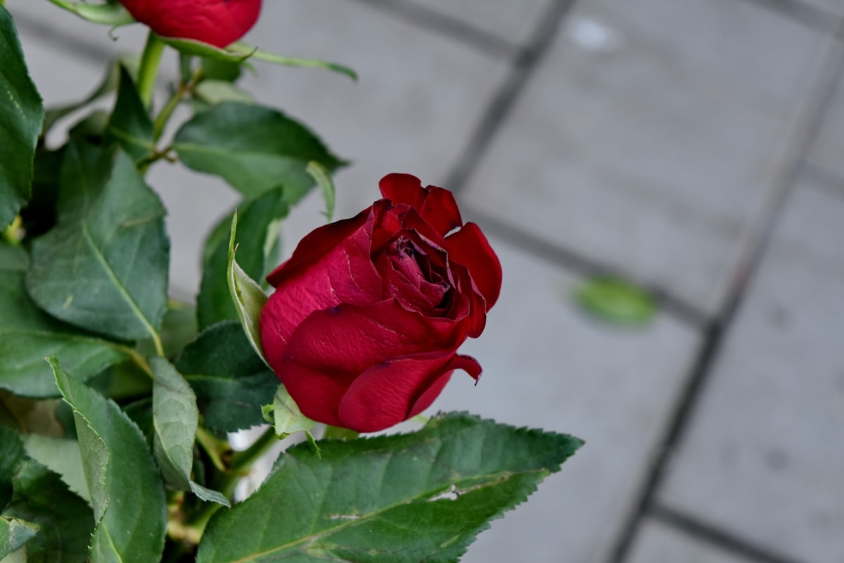 buket, Crveni, ruža, grm, ruža, latica, priroda, romansa