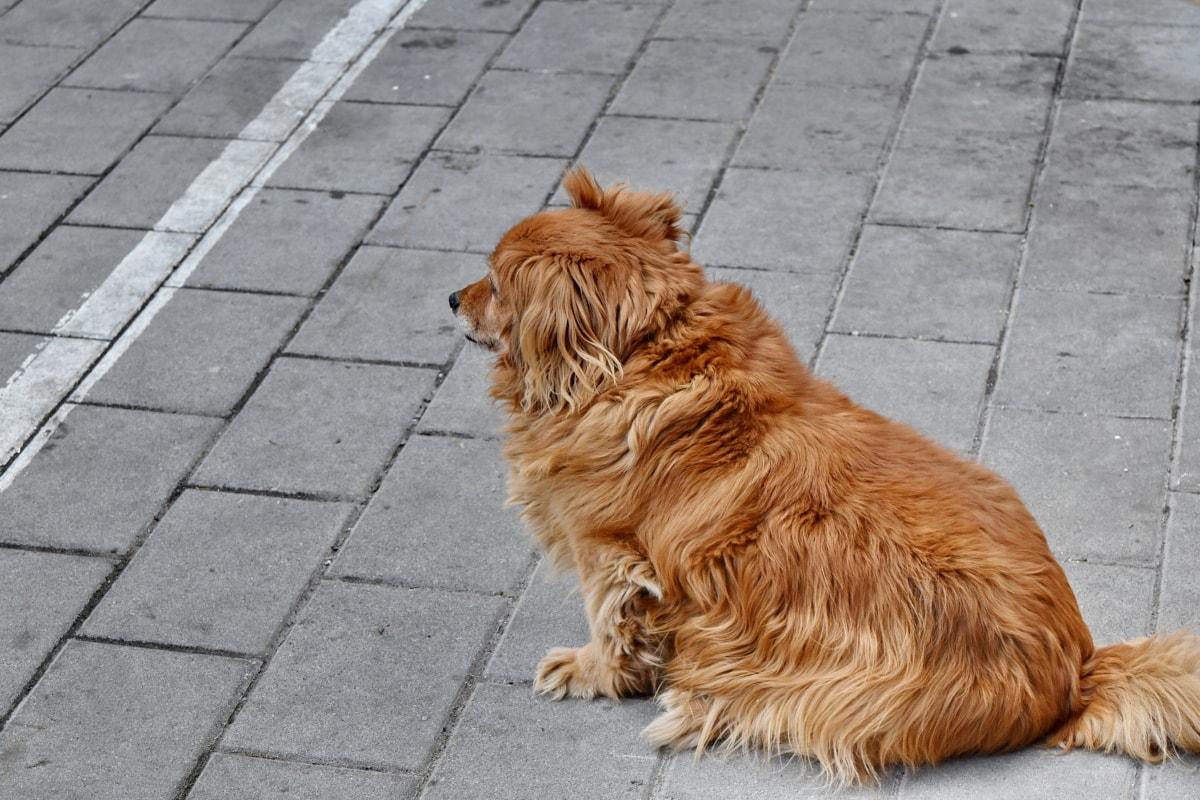 σκύλος, κυνηγετικό σκυλί, κατοικίδιο ζώο, κυνικός, ζώο, πορτρέτο, Χαριτωμένο, Γούνα