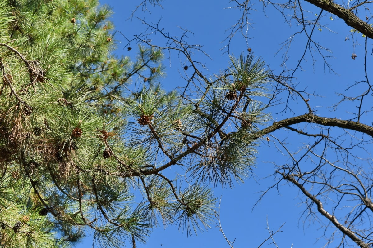 grana, biljka, priroda, drvo, bor, drvo, na otvorenom, krajolik