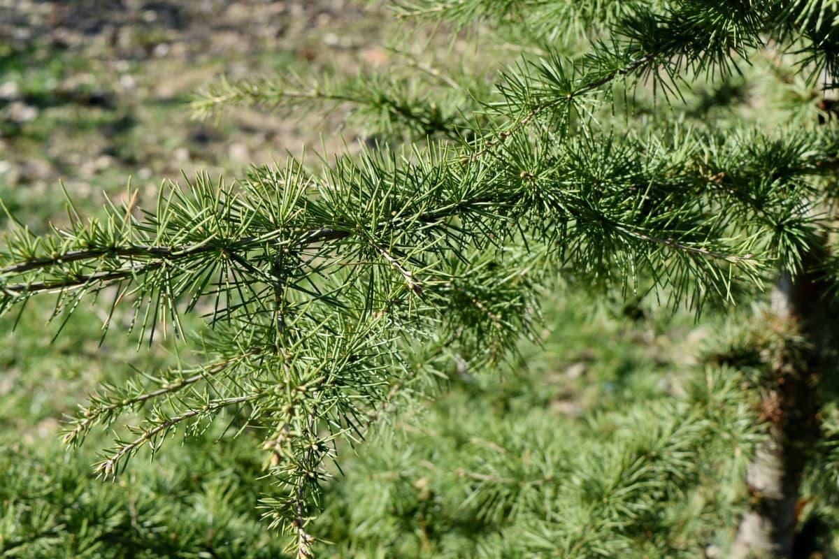 grener, våren, natur, treet, Evergreen, urt, nål, anlegget