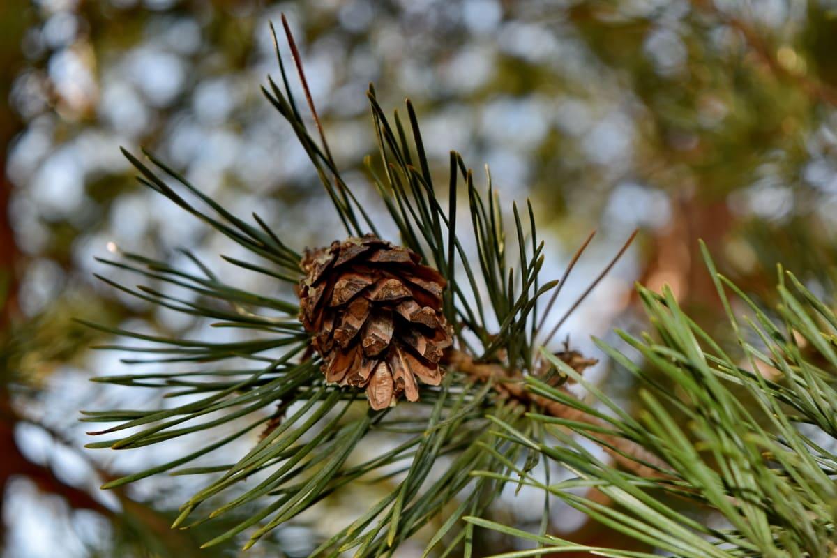 fyrretræ, træ, vinter, kegle, stedsegrønne, nåletræ, natur, gren
